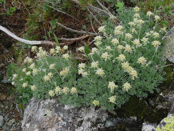 Pacific Alpine Wormwood (Artemisia Glomerata) http://www.sagebud.com/pacific-alpine-wormwood-artemisia-glomerata