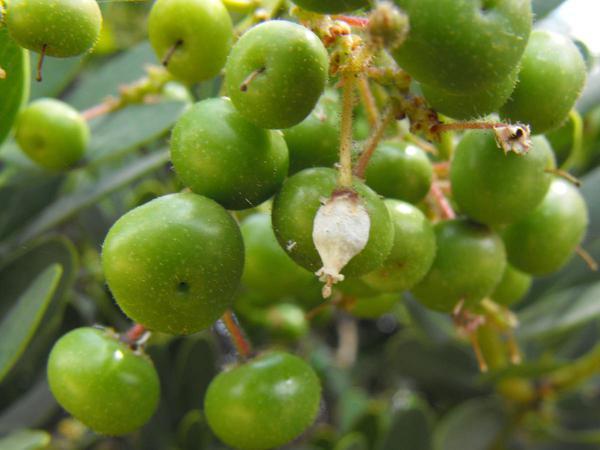 Island Manzanita (Arctostaphylos Insularis) http://www.sagebud.com/island-manzanita-arctostaphylos-insularis