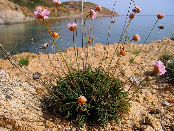 Armeria (Armeria) http://www.sagebud.com/armeria-armeria/
