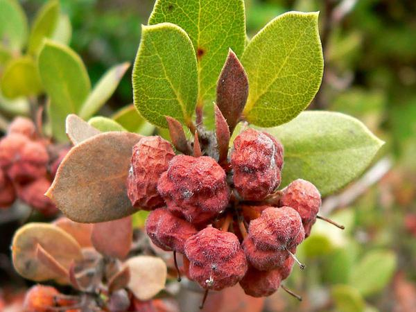 Morro Manzanita (Arctostaphylos Morroensis) http://www.sagebud.com/morro-manzanita-arctostaphylos-morroensis