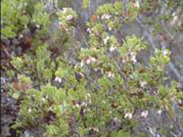 Ione Manzanita (Arctostaphylos Myrtifolia) http://www.sagebud.com/ione-manzanita-arctostaphylos-myrtifolia