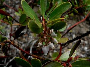 Pinemat Manzanita