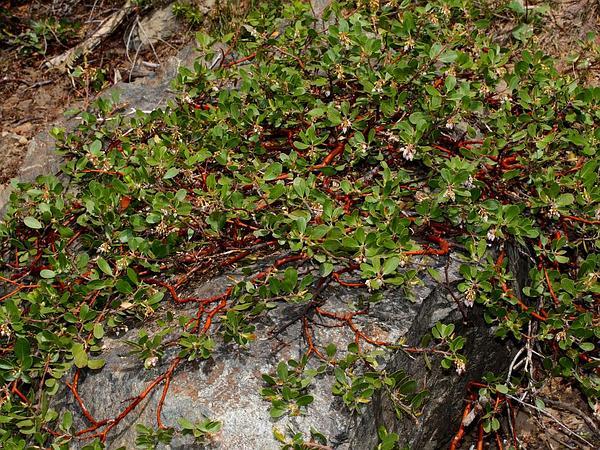 Pinemat Manzanita (Arctostaphylos Nevadensis) http://www.sagebud.com/pinemat-manzanita-arctostaphylos-nevadensis