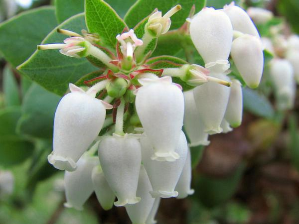 Alameda Manzanita (Arctostaphylos Pallida) http://www.sagebud.com/alameda-manzanita-arctostaphylos-pallida