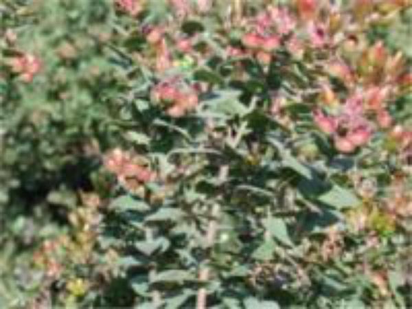 Pajaro Manzanita (Arctostaphylos Pajaroensis) http://www.sagebud.com/pajaro-manzanita-arctostaphylos-pajaroensis
