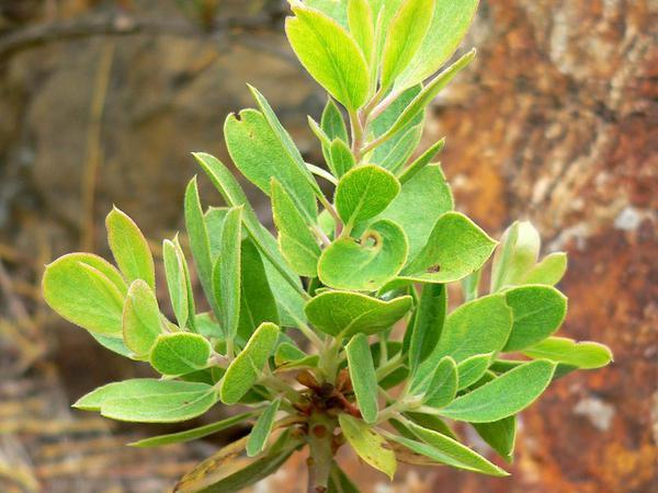 Parry Manzanita (Arctostaphylos Parryana) http://www.sagebud.com/parry-manzanita-arctostaphylos-parryana/
