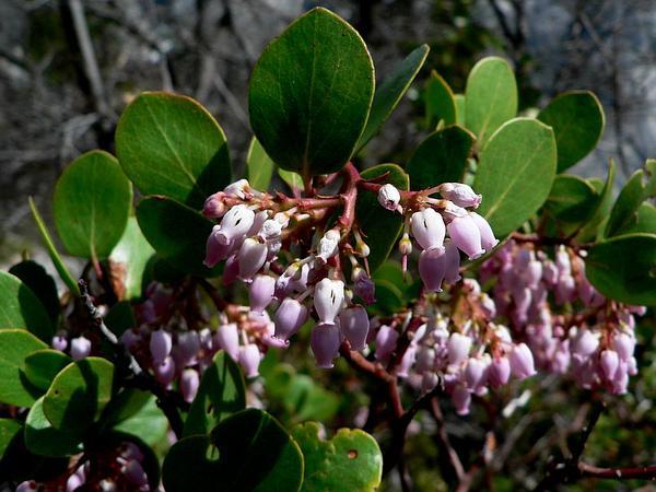 Greenleaf Manzanita (Arctostaphylos Patula) http://www.sagebud.com/greenleaf-manzanita-arctostaphylos-patula