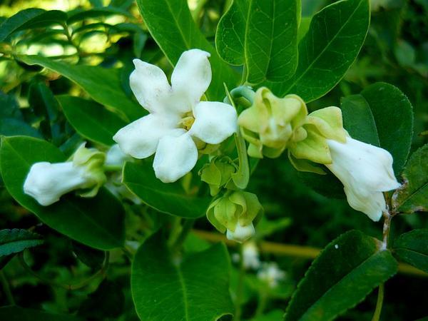 White Bladderflower (Araujia Sericifera) http://www.sagebud.com/white-bladderflower-araujia-sericifera