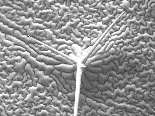 Mouseear Cress (Arabidopsis Thaliana) http://www.sagebud.com/mouseear-cress-arabidopsis-thaliana/