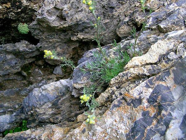 Alps Wormwood (Artemisia Umbelliformis) http://www.sagebud.com/alps-wormwood-artemisia-umbelliformis/