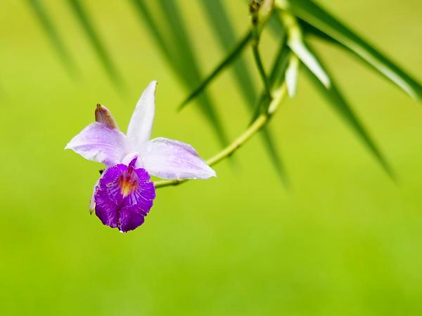 Bamboo Orchid (Arundina) http://www.sagebud.com/bamboo-orchid-arundina