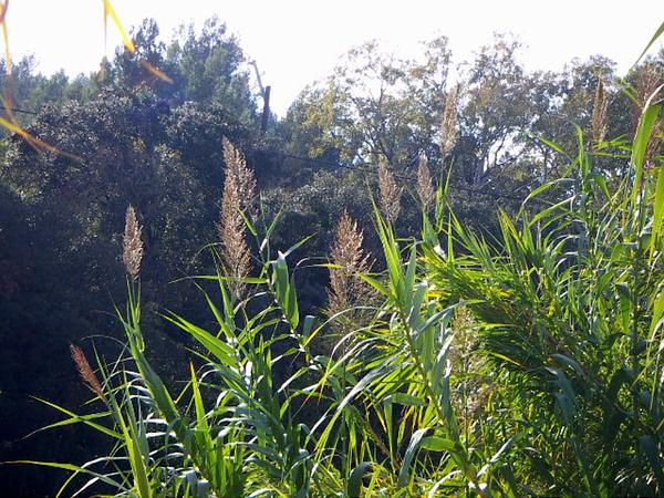 Giant Reed (Arundo)