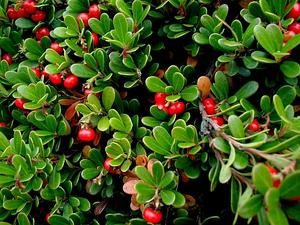 ARUV/Arctostaphylos-uva-ursi_300.JPG