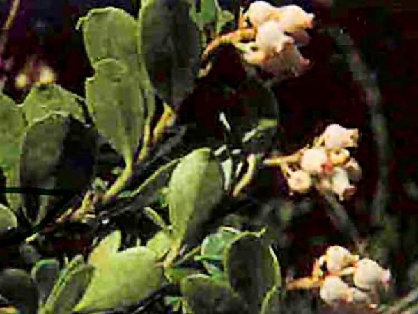 Kinnikinnick (Arctostaphylos Uva-Ursi) http://www.sagebud.com/kinnikinnick-arctostaphylos-uva-ursi