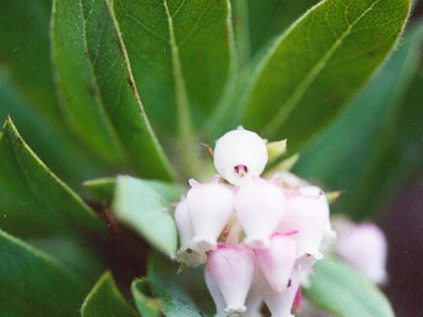 Bolinas Manzanita (Arctostaphylos Virgata) http://www.sagebud.com/bolinas-manzanita-arctostaphylos-virgata