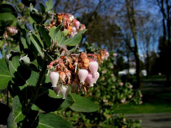 Sticky Whiteleaf Manzanita (Arctostaphylos Viscida) http://www.sagebud.com/sticky-whiteleaf-manzanita-arctostaphylos-viscida