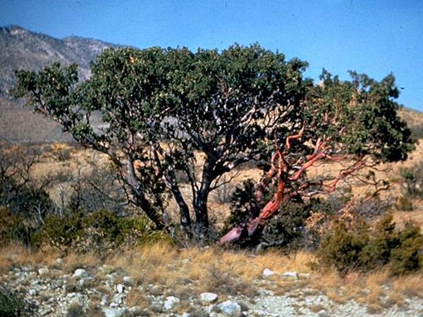 Texas Madrone (Arbutus Xalapensis) http://www.sagebud.com/texas-madrone-arbutus-xalapensis