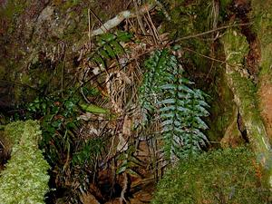 Forest Spleenwort