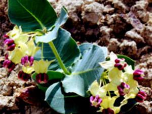 Pallid Milkweed