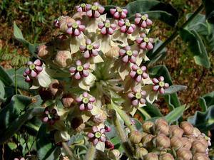 Woollypod Milkweed