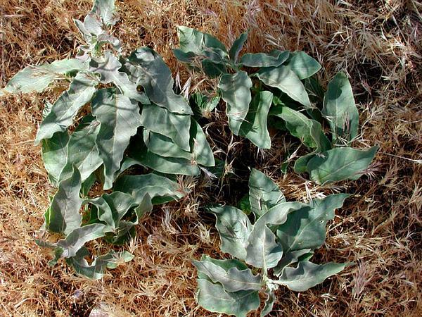 Mojave Milkweed (Asclepias Nyctaginifolia) http://www.sagebud.com/mojave-milkweed-asclepias-nyctaginifolia