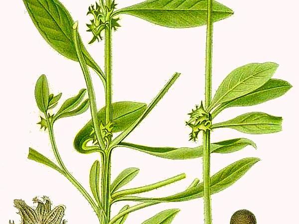 German-Madwort (Asperugo Procumbens) http://www.sagebud.com/german-madwort-asperugo-procumbens