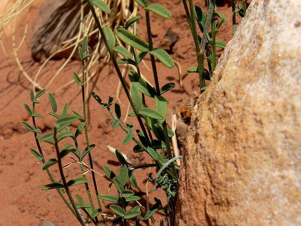 Spring Mountain Milkvetch (Astragalus Remotus) http://www.sagebud.com/spring-mountain-milkvetch-astragalus-remotus