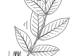 Showy Milkweed