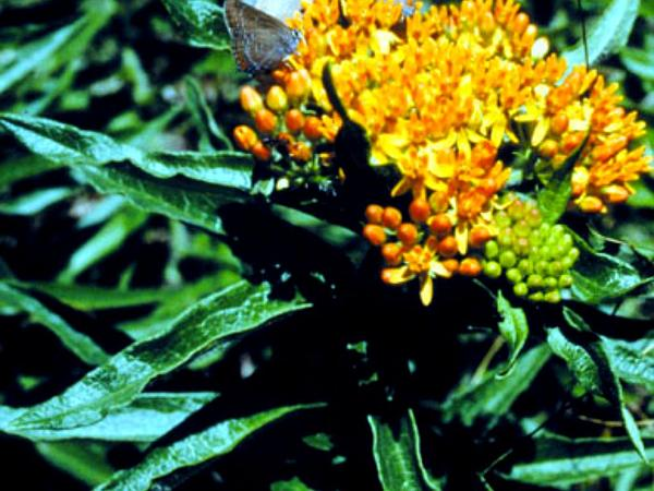Butterfly Milkweed (Asclepias Tuberosa)