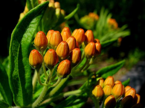 Butterfly Milkweed (Asclepias Tuberosa) http://www.sagebud.com/butterfly-milkweed-asclepias-tuberosa/