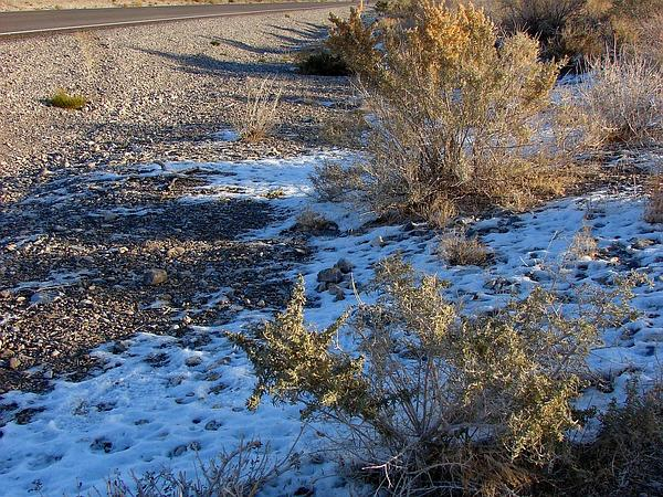 Fourwing Saltbush (Atriplex Canescens) http://www.sagebud.com/fourwing-saltbush-atriplex-canescens