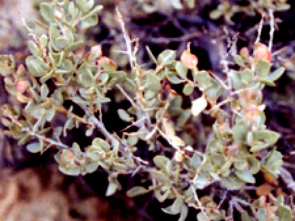 Shadscale Saltbush (Atriplex Confertifolia)