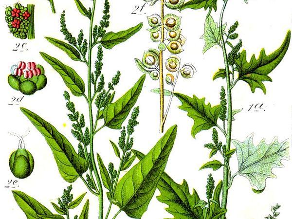 Garden Orache (Atriplex Hortensis) http://www.sagebud.com/garden-orache-atriplex-hortensis/