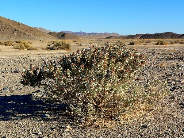 Desertholly (Atriplex Hymenelytra) http://www.sagebud.com/desertholly-atriplex-hymenelytra