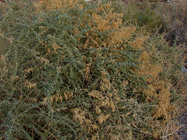 Big Saltbush (Atriplex Lentiformis) http://www.sagebud.com/big-saltbush-atriplex-lentiformis/