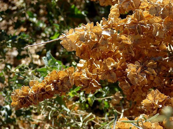 Big Saltbush (Atriplex Lentiformis) http://www.sagebud.com/big-saltbush-atriplex-lentiformis