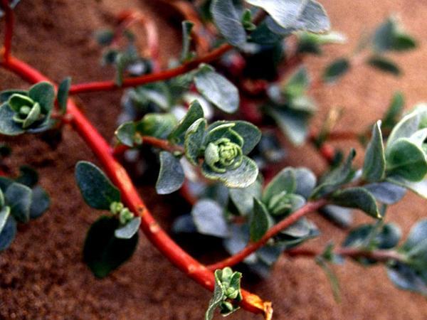 Beach Saltbush (Atriplex Leucophylla) http://www.sagebud.com/beach-saltbush-atriplex-leucophylla