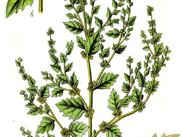 Tumbling Saltweed (Atriplex Rosea) http://www.sagebud.com/tumbling-saltweed-atriplex-rosea