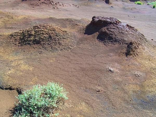 Australian Saltbush (Atriplex Semibaccata) http://www.sagebud.com/australian-saltbush-atriplex-semibaccata