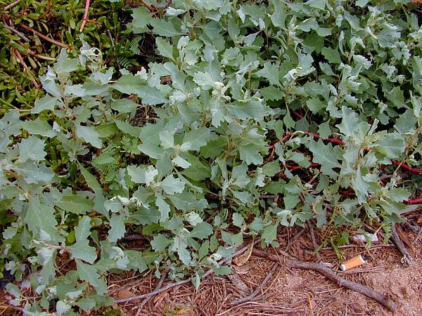Peregrine Saltbush (Atriplex Suberecta) http://www.sagebud.com/peregrine-saltbush-atriplex-suberecta