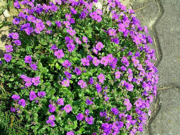Lilacbush (Aubrieta) http://www.sagebud.com/lilacbush-aubrieta
