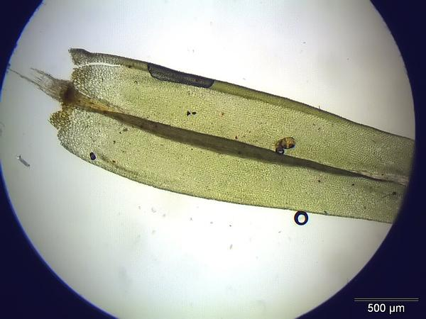 Aulacomnium Moss (Aulacomnium Palustre) http://www.sagebud.com/aulacomnium-moss-aulacomnium-palustre