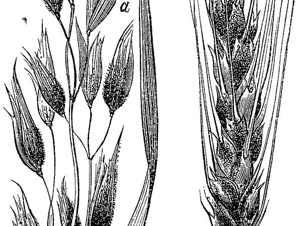 Common Oat (Avena Sativa) http://www.sagebud.com/common-oat-avena-sativa/