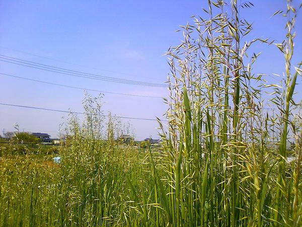 Common Oat (Avena Sativa) http://www.sagebud.com/common-oat-avena-sativa/