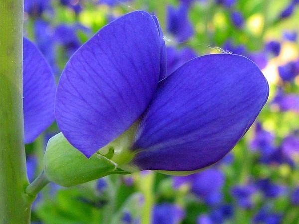 Blue Wild Indigo (Baptisia Australis) http://www.sagebud.com/blue-wild-indigo-baptisia-australis