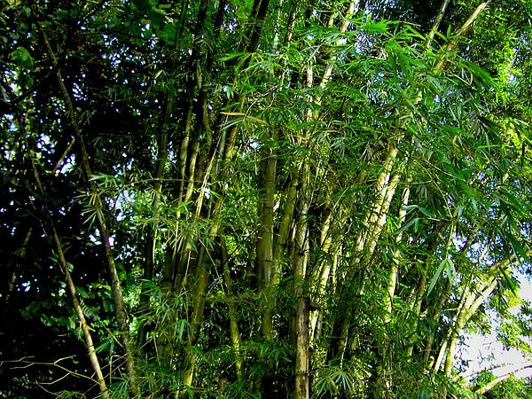 Common Bamboo (Bambusa Vulgaris)