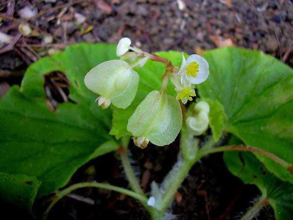 Brazilian Begonia (Begonia Hirtella) http://www.sagebud.com/brazilian-begonia-begonia-hirtella/