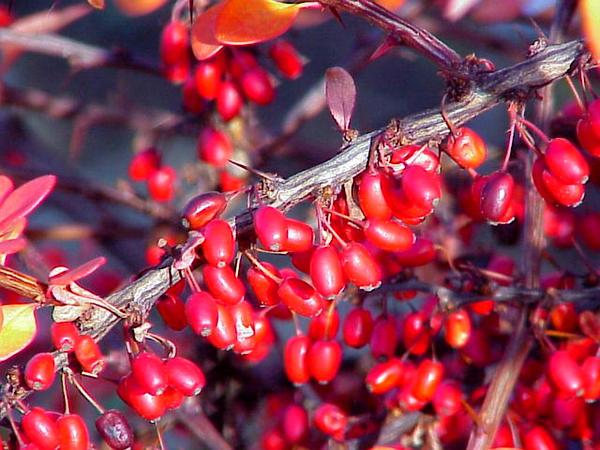 Barberry (Berberis) http://www.sagebud.com/barberry-berberis