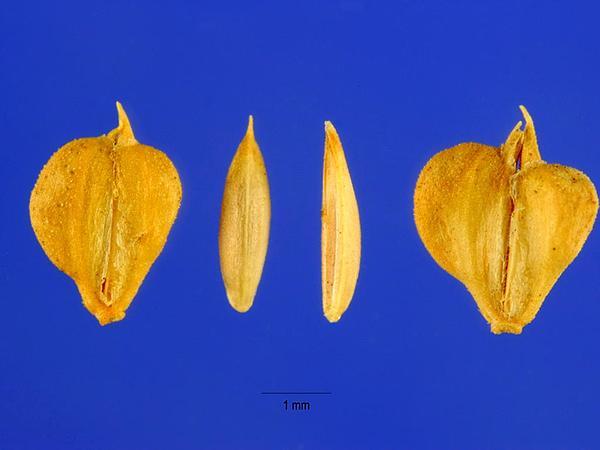 American Sloughgrass (Beckmannia Syzigachne) http://www.sagebud.com/american-sloughgrass-beckmannia-syzigachne