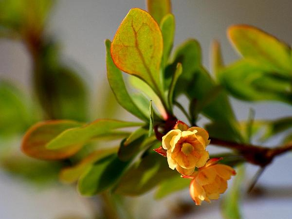 Japanese Barberry (Berberis Thunbergii) http://www.sagebud.com/japanese-barberry-berberis-thunbergii